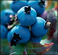 Small cholesterol fighters: Blueberries on a bush.