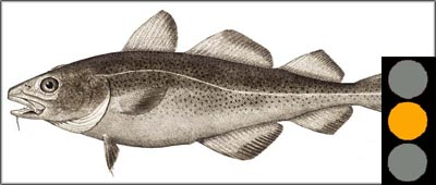 Good picture of Atlantic cod. Steamed cod is good low cholesterol foods.