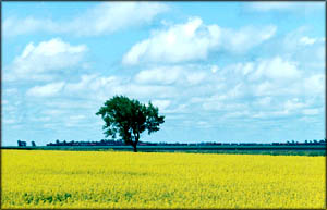 canola oil is a good low cholesterol food: Picture of yellow field with canola.