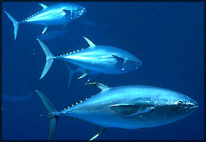 Good cholesterol foods: Photo of three tuna fish in the ocean.