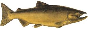Getting rid of high cholesterol symptoms: Fish, salmon, chinook.